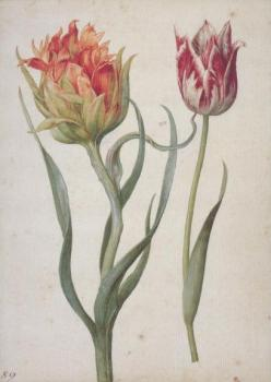Zwei Tulpen. Two Tulips. Deux Tulipes.