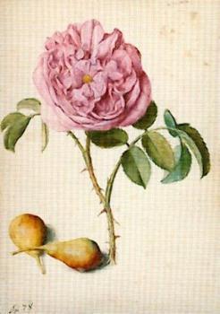 Batavische Rose und zwei Birnen