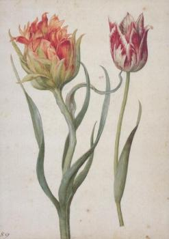 Zwei Tulpen. Two Tulips. Deux Tulipes.