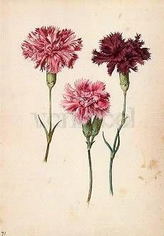 Drei Gartennelken. Three Pinks. Trois oeillets.