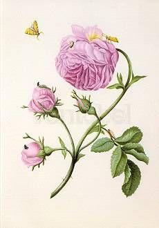 Buschrose mit Miniermotte, Larve und Puppe. Bush Rose with Moth, Larva and Chrysalis. Rose avec teigne, larve et chrysalide, ca. 1679