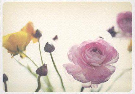 Ranunkeln. Ranunculus asiaticus. Renoncule des fleuristes.