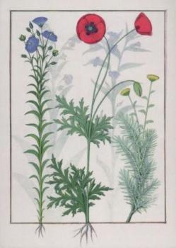 Lein, Mohn und Eberraute. Linum, Garden poppies and Abrotanum.