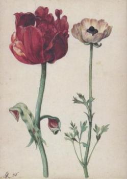 Tulpe und Gartenranunkel. Tulip and Ranunculus. Tulipe et renoncule.