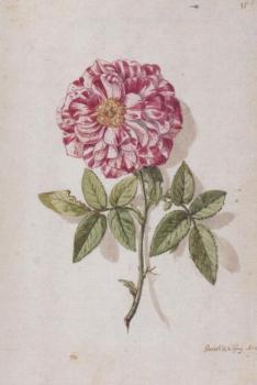 Rose mit weiß und rot gesprenkelten Blütenblättern, 1673