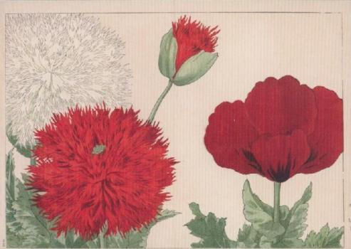 Mohnblüten, 1917
