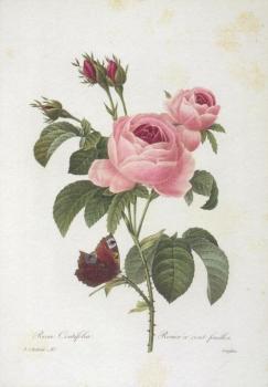 Rosa centifolia. Rosier a cents feuilles. Zentifolie mit Pfauenfalter.
