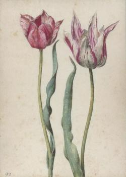 Zwei Tulpen, Two tulips, Deux tulipes.