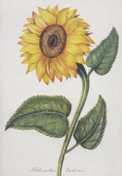 Sonnenblume. Sunflower. Tournesol. Helianthus indicus.