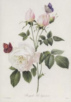 Teerose. Rosa bengale thé hymenée, 1817